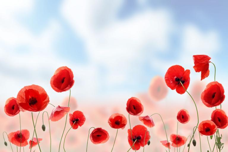 poppies with blue cloudy sky