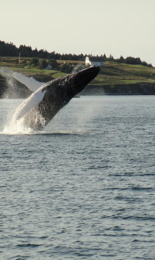 Whale breaching and splashing in the ocean.